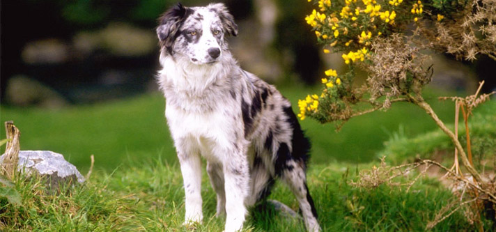 Border Collies: The Brightest Canine Breed of All